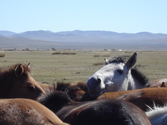 Horses, Mongolia.